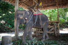 Elephant riding for tourists. Elephant riding for tourists in the paddock royalty free stock images