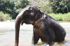 Elephant in a river. Elephant and river in Sri Lanka,wildlife Royalty Free Stock Photography