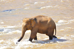 Elephant in river Royalty Free Stock Image