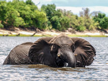 Elephant in the river stock photography