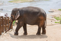 Elephant on a river bank Stock Photo