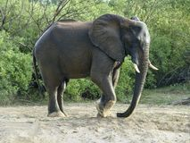 Elephant stomp with his foot in the sand. Elephant on the river bank of the Zambesi stomp with the foot in the sand Stock Photography