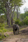 Elephant in river bed. Elephant walking in a dry river bank with huge trees in the background Stock Photos