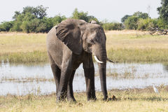Elephant and river Stock Photography