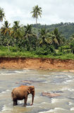 Elephant in River Stock Image