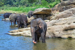 Elephant in river outdoor leisure Stock Images