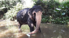 Elephant in the river Royalty Free Stock Photo