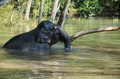 Elephant in the river relaxing Royalty Free Stock Photography
