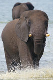 Elephant in the river stock photos