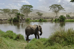 Elephant in river in Serengeti National Park royalty free stock photography