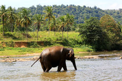 Elephant in river. Royalty Free Stock Photos