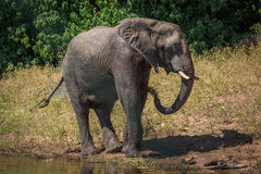 Elephant on riverbank squirting water over body Royalty Free Stock Photography