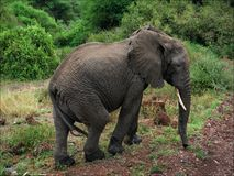 Elephant at road. Royalty Free Stock Photo