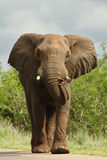 Elephant on road. Large elephant walking in the road, extending trunk stock photo
