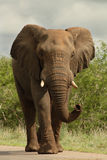 Elephant on road. African bull elephant walking down road Royalty Free Stock Images