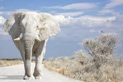 Elephant road. White elephant walks on road royalty free stock photo