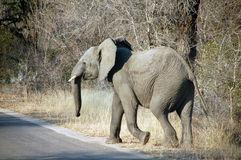 Elephant by road stock photo