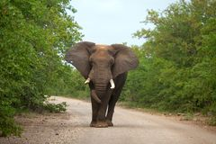 Elephant on the road. African elephant bull walking on the road in kriuger Park, South Africa Royalty Free Stock Photos