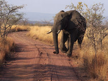 ELEPHANT_ROAD. An elephant crosses a dirt road at Welgevonden Game Reserve in South Africa Stock Images