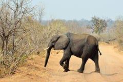 Elephant road crossing in Chobe National Park, Botswana Stock Photo