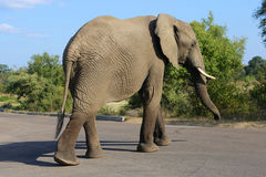 Elephant on the road. At kruger royalty free stock image