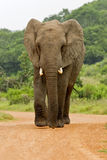 Elephant in the road Stock Image