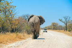 Elephant on the road in namibia Stock Images