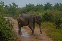 Elephant on the road in national park. In Sri Lanka Royalty Free Stock Photography