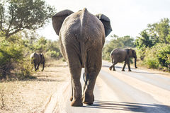 Elephant on the road. An elephant walking on the road in Kruger National Park in South Africa Stock Image