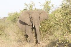 Elephant. An elephant roams across the African plains Stock Photography