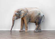 Elephant  in the room. An elephant  in the room near white wall. Creative concept Royalty Free Stock Images