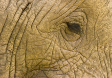 Elephant:Rough skin and tender eye Stock Photo
