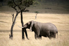 Elephant rubs a tree Royalty Free Stock Photography