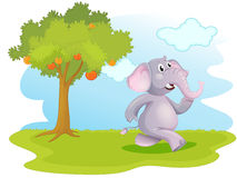 An elephant running near the orange tree Stock Photo