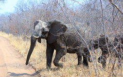 Elephant running scared from behind bush. An elephant is alarmed and runs out from bush with ears flapping and trunk swaying Stock Photo