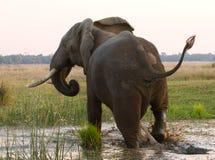 Elephant runs away. Zambia. Lower Zambezi National Park. Zambezi River. Royalty Free Stock Photo