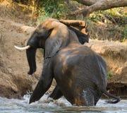 Elephant runs away. Zambia. Lower Zambezi National Park. Zambezi River. Royalty Free Stock Photography