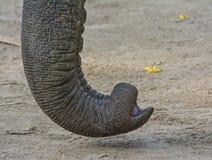 Elephant& x27; s bagażnik fotografia royalty free