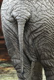 Elephant's cellulitis. Hard cellulite on elephant's back royalty free stock photography