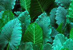 Elephant's ears. Very large tropical foliage stock image