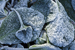 Elephant's Ears plant in heavy frost Stock Photos