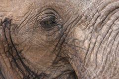 An elephant's eye Stock Image