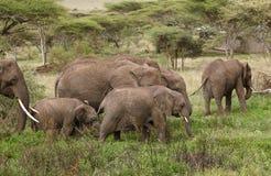 Elephant`s family Stock Image