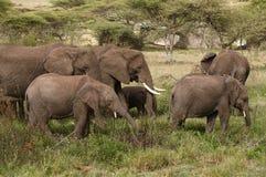 Elephant`s family Stock Photography