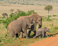 Elephant's family Royalty Free Stock Images