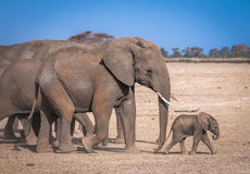 Elephant`s family Stock Image