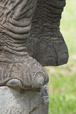 Elephant's feet Stock Photography