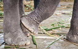 Elephant's foot tied to a chain Stock Photography