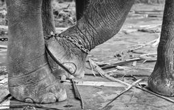 Elephant's foot tied to a chain Stock Photos