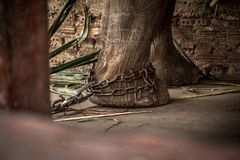 Elephant s foot tied to a chain Royalty Free Stock Photography